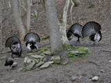 WV Wild Turkeys 2010 ~ SP560