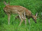 Whitetail Deer in WV ~ 2010