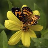 Woodland Sunflower; Pearl Crescent Butterfly