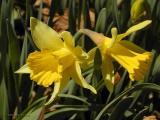 Daffodil Pair, 1-Y-Y