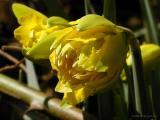 Van Sion Daffodils, Mar 30th