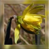 Van Sion Daffodil, OOF Framed