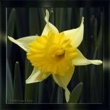 Basking Daffodil, Apr 2nd