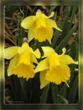 Trio of Daffodils, Apr 5th