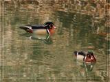 Mallard and Wood Ducks ~ Apr 12th, 13th, 16th, 17th, 21st