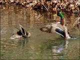 Pond Life - Mallards, Wood Ducks, Turtles, Frogs ~ WV ~  2006