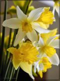 Close up of Daffodil Bouquet, Apr 9th