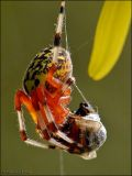 Marbled Orb Weaver and Prey