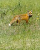 Fox and Prey