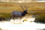 Elk Splash