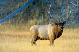 Elk Pose