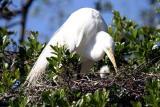 Egret with baby, Alligator Farm, St. Augustine