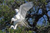 Egrets doing their thing at Alligator Farm