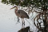 GBH in the mangroves, L Pond, Merritt