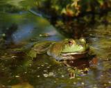 Frog, Brookside Gardens, Wheaton