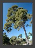 Giant Broccoli Trees