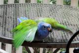 Midori - a Blue Crown Conure