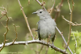 Gray Catbird 20