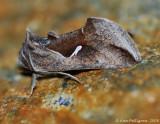 Celery Looper Moth