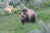 Grizzly in Lamar Valley