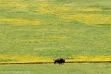 Lone Bison in Lamar Valley