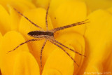 Young Nursery Web Spider