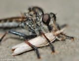 Robber Fly with Moth