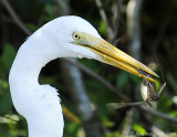 Great Egret with Anole Lizard
