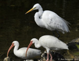 White Ibis and Great Egret