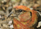 White-winged Crossbill (Male)