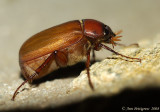 May Beetle sp.