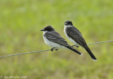 Eastern Kingbirds-(Juvenile & Adult)