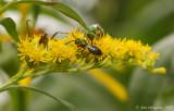 Sweat Bee on Goldenrod