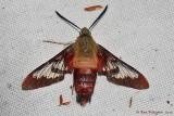 Clearwing Hummingbird Moth (Deceased)