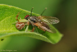 Crab Spider with Fly