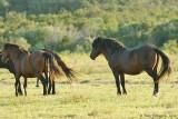 Stallion & Mares