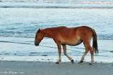 Wild Horse in Corolla