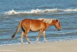 Wild Mare of the Outer Banks