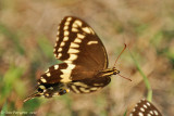 Palamedes Swallowtail (Papilio palamedes)