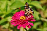 Monarch on Zinia