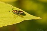 Metallic Bee sp.