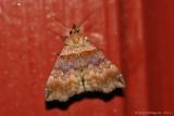 Ambiguous Moth (Lascoria ambigualis) - ---0024.jpg