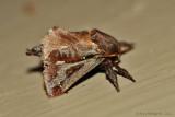 Saddleback-Caterpillar-Moth-(Accharia-stimulea)---0051.jpg