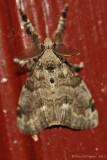 Tussock-Moth-sp.---0054.jpg