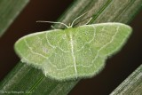 Wavy-lined-Emerald-(Synchlora-aerata)---0115.jpg
