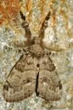 Tussock-Moth sp.----0080.jpg