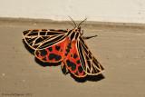 Virgin-Tiger-Moth---Grammia-virgo---0284.jpg