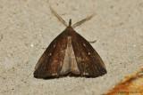 Bronzy Macrochilo Moth -0001.jpg