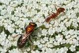 Bee & Ant on Queen Anne's Lace