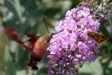 Hummingbird Moth & Peck's Skipper